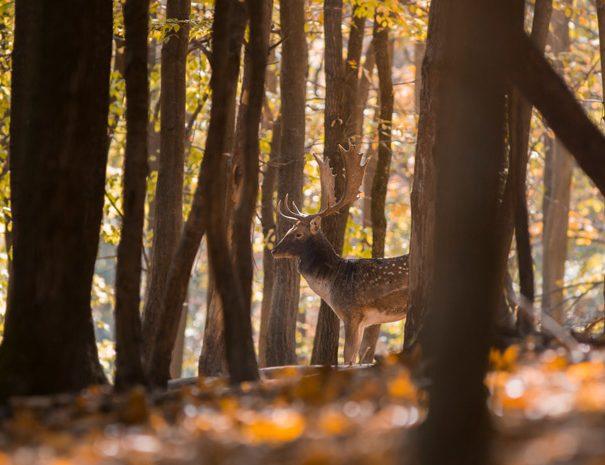 Deer-wallonie