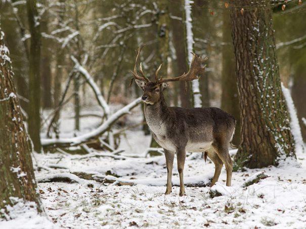 Deer-wallonie2